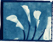 II) Lillies, cyanotype, photography by and with kind permission of Mark Sink ©