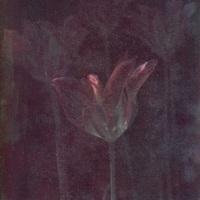 Gum-bichromate-Tulips-1