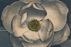 Cyanotype handcolored Magnolia