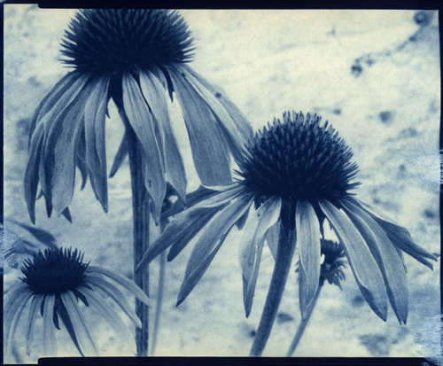 Cyanotype Cone Flowers