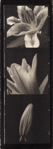 Platinum palladium pinhole Lily