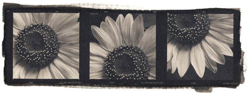 Platinum palladium print Sunflower Study