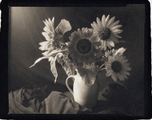 Platinum palladium print Sunflowers