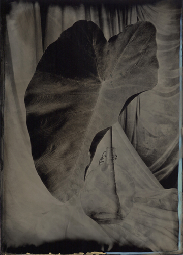 Wetplate collodion Elephant Ear