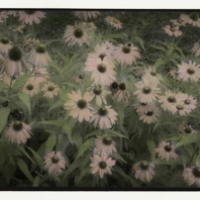 Infrared handpainted print Coneflowers