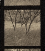 Platinum palladium pinhole Tree Family