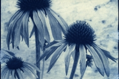 Cyanotype Cone Flowers