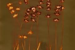 Lumen print Lavender