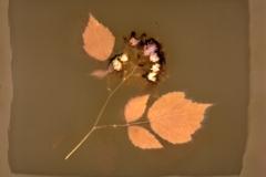 Lumen print Wineberry