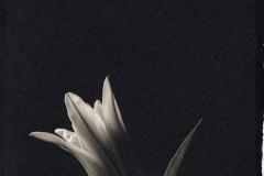 Platinum palladium print Lily