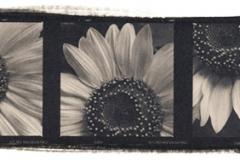 Platinum palladium print Sunflower Study