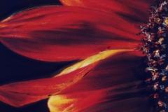Polaroid SX-70 Sunflower