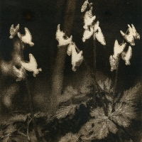 Solarplate intaglio Dutchman's Breeches
