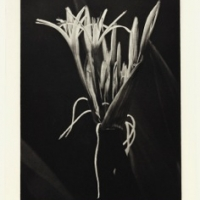 Photogravure Spider study