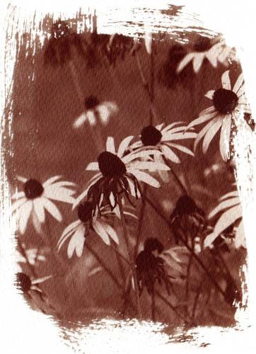 Vandyke brown Flowers