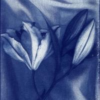 Cyanotype Lilies 2
