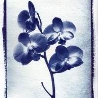 Cyanotype Orchid 1