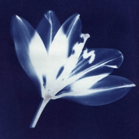 Cyanotype Shadow lily
