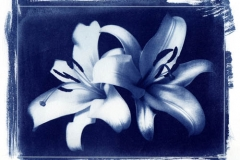 Cyanotype Lilies 1