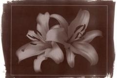 Vandyke brown Lilies