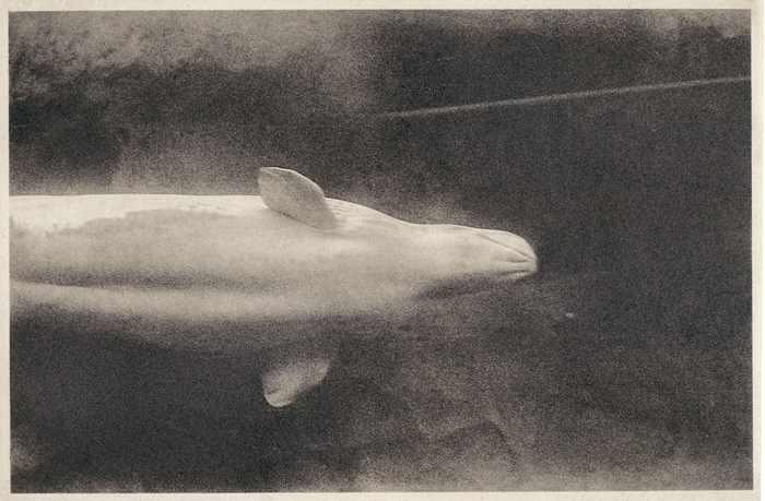 Photogravure Whale