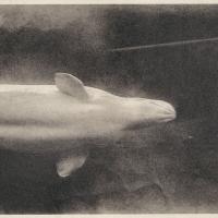 Photogravure Whale