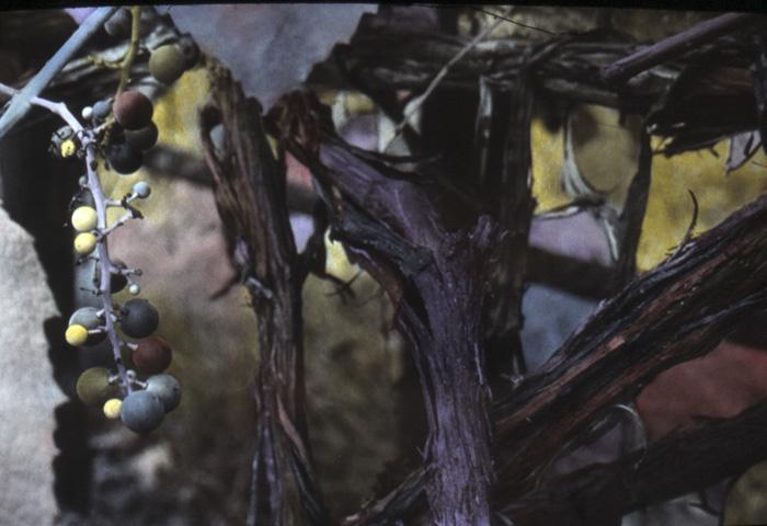 Handcoloured Grapes
