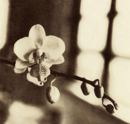 Kallitype Window orchid