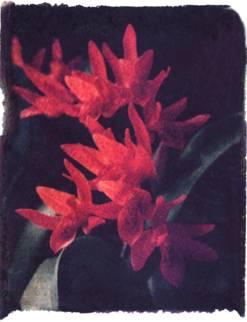 Polaroid image transfer Orange flowers