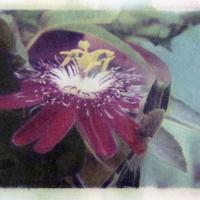 Polaroid image transfer Passaflora
