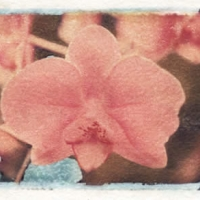 Polaroid image transfer Pinky
