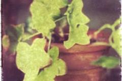 Polaroid image transfer Ivy pot
