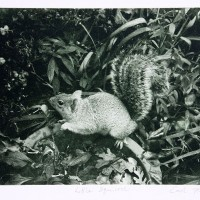 Photo-Intaglio-Little-Squirrel