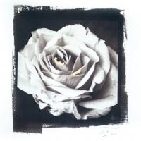 Rose of the Wells Van Dyke