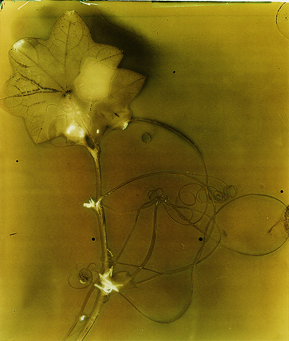 Lumen print Wild Cucumber Vine 2 on black and white film