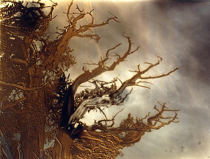 Solarized Bristlecone Pine branches lens pix 1