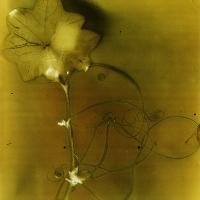 Lumen print Wild Cucumber Vine 2 on black and white film