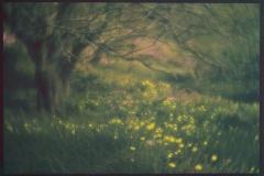 Dandelions on Monhegan, 12x18