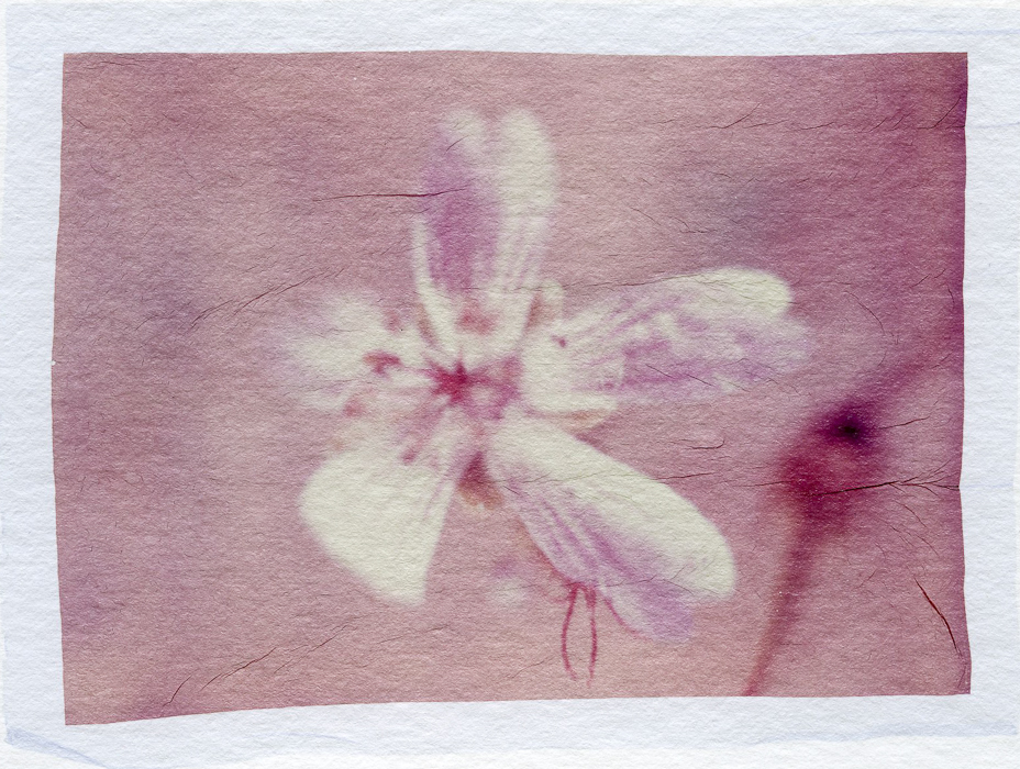 Polaroid emulsion lift Dads Flowers 1