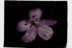Polaroid emulsion lift Dads Flowers 2
