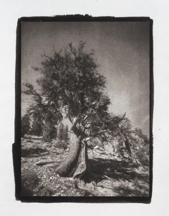 Pt-Pd-Yosemite-Tree