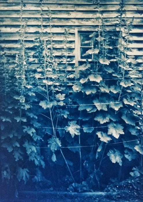 Gum over Cyanotype Hollyhocks