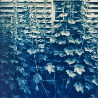 Gum over Cyanotype Hollyhocks