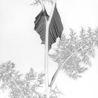 Mordançage le fenouil #4 draped, lacoste france 1991