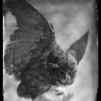 Wetplate collodion Owl