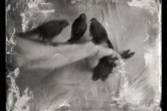 Wetplate collodion Birds