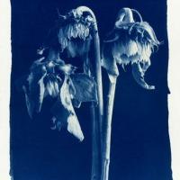 John-Brewer-Sunflowers