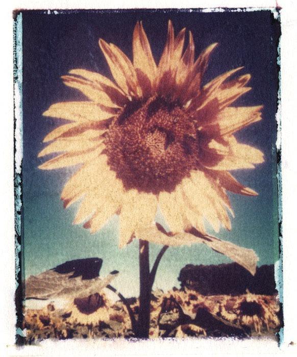 Jan-Harris-Sunflower