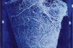 Cyanotype Pot bound root 1