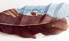 Cyanotype and vandyke Leaf sculpture